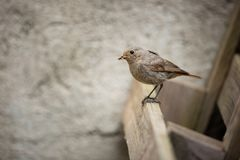Phoenicurus ochruros. Little bird. Expanded throughout Europe and Asia. Free nature. Spring nature. From bird life. Photographed in the Czech Republic stock image