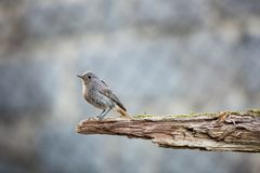 Phoenicurus ochruros. Little bird. Expanded throughout Europe and Asia. Free nature. Spring nature. From bird life. Photographed in the Czech Republic royalty free stock images