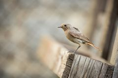 Phoenicurus ochruros. Little bird. Expanded throughout Europe and Asia. Free nature. Spring nature. From bird life. Photographed in the Czech Republic royalty free stock photos