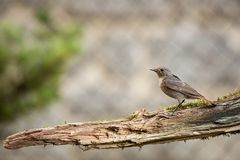 Phoenicurus ochruros. Little bird. Expanded throughout Europe and Asia. Free nature. Spring nature. From bird life. Photographed in the Czech Republic royalty free stock photo
