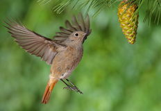 Phoenicurus ochruros redstart flying Stock Photo