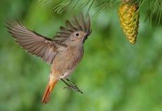 Phoenicurus ochruros redstart flying. Phoenicurus ochruros redstart female flying with a green background Stock Photo