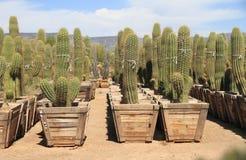 Phoenix, Αριζόνα: Βρεφικός σταθμός εγκαταστάσεων ερήμων - κάκτοι Saguaro για την πώληση Στοκ Εικόνα