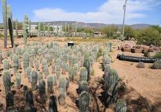 Phoenix, Αριζόνα: Βρεφικός σταθμός εγκαταστάσεων ερήμων - κάκτοι Saguaro μωρών Στοκ Φωτογραφίες