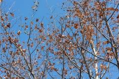 Phoenix-Baum Lizenzfreie Stockfotografie