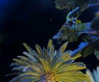 Phoenix Canariensis, ο φοίνικας Κανάριων νησιών και στενός ο επάνω φοινίκων φύλλων μπανανών στο υπόβαθρο νυχτερινού ουρανού Στοκ εικόνες με δικαίωμα ελεύθερης χρήσης