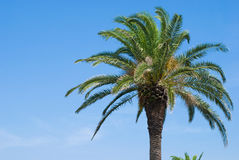 Phoenix canariensis. Tree in the sky royalty free stock image