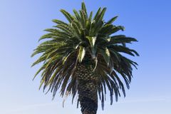 Phoenix canariensis Canary Island date palm Stock Images