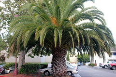 Phoenix canariensis, Canary Island Date Palm Royalty Free Stock Photos