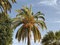 Phoenix canariensis, Date palm, Canary Islands Date Palm Stock Images