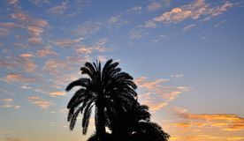 Phoenix canariensis on intense sky at dawn. Silhouette of palm trees, phoenix canariensis on awesome sky at sunrise stock photography