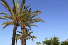 Phoenix canariensis palm trees blue sky Stock Image