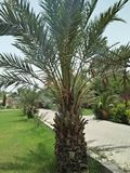 Phoenix canariensis. Is a large solitary palm, 10–20 m tall, occasionally growing to 40 m. The leaves are pinnate, 4–6 m long, with 80–100 stock image
