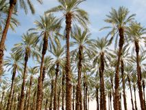 Phoenix dactylifera (date or date palm) palm tree plantation Stock Photo