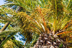 Phoenix dactylifera date palm tree unripe growing fruit Royalty Free Stock Images