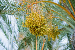 Phoenix dactylifera Stock Photos