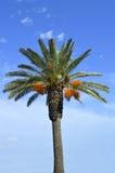Phoenix dactylifera latino di nome dell'albero della palma da datteri Fotografia Stock Libera da Diritti