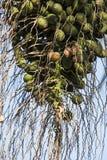 Phoenix dactylifera lub daktylowa palma Zdjęcia Royalty Free
