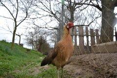 Phoenix-Huhn, das auf den Hof geht Junge Henne, die allein auf traditionellem ländlichem Bauernhofyard steht Lizenzfreies Stockbild