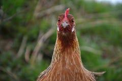 Phoenix-Huhn, das auf den Hof geht Junge Henne, die allein auf traditionellem ländlichem Bauernhofyard steht Lizenzfreies Stockfoto