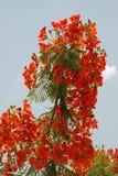 Phoenix kwiaty Zdjęcie Stock