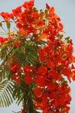 Phoenix kwiaty Zdjęcie Royalty Free