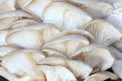 Phoenix mushroom Stock Photo