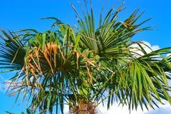 Phoenix palm tree Royalty Free Stock Photos