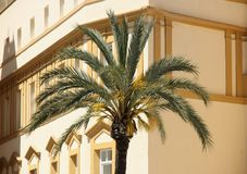 Palm Tree. A Phoenix palm tree in the old city of Cadiz, Spain Royalty Free Stock Image