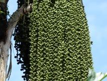 Phoenix-roebelenii, bekannt als die zwergartige oder Pygmäendattelpalme Lizenzfreies Stockbild