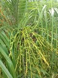 Phoenix Roebelenii Date Palm (Pygmy Date Palm or Miniature Date Palm) with Green Unripe Dates. Stock Images