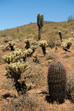 Phoenix Sonoran Desert Preserve. Fishhook Barrel Cactius & x28;Ferocactus wislizenii& x29;, Teddy-Bear Chollas & x28;Cylindropuntia bigelovii& x29;, and Giant Royalty Free Stock Photos