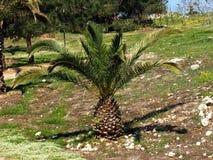 Phoenix Theophrasti Or Cretan Date Palm. Against a blue sky Stock Photography