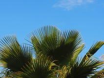Phoenix Theophrasti ou palmier dattier crétois images stock