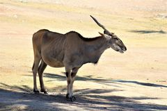 Phoenix Zoo, Arizona Center for Nature Conservation, Phoenix, Arizona, United States. Arabian Oryx at the Phoenix Zoo, Center for Nature Conservation, located in Royalty Free Stock Photo