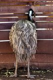 Phoenix Zoo, Arizona Center for Nature Conservation, Phoenix, Arizona, United States. Emu at the Phoenix Zoo, Center for Nature Conservation, located in Phoenix Stock Photo
