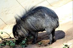Phoenix Zoo, Arizona Center for Nature Conservation, Phoenix, Arizona, United States. Warthog at the Phoenix Zoo, Center for Nature Conservation, located in Stock Image