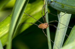 Pholcidae, commonly known as cellar spiders, are a spider family Royalty Free Stock Photos