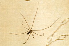 Pholcus Phalangioides Stock Images