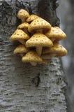 Pholiota aurivella mushroom Stock Image