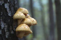 Pholiota aurivella mushroom Royalty Free Stock Images