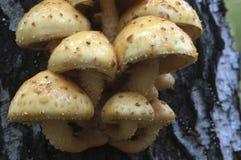 Pholiota aurivella mushroom Stock Photography
