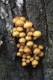 Pholiota aurivella mushroom Stock Photo