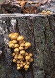 Pholiota aurivella mushroom Royalty Free Stock Photo