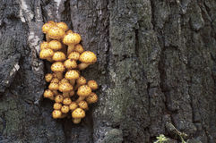 Pholiota aurivella mushroom Royalty Free Stock Photos