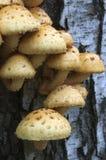 Pholiota squarrosa mushroom Stock Photos