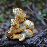 Pholiota squarrosa mushroom. Commonly known as the shaggy scalycap Royalty Free Stock Photo