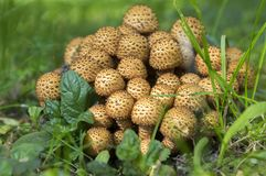 Pholiota squarrosa woodsfailing mushroom in the grass. Autumn season, sunlight Stock Images