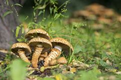 Pholiota squarrosa woodsfailing mushroom in the grass. Autumn season in forest Stock Photo