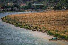 Phong Nha flod, vattenbufflar som tycker om ett uppfriskande dopp, norr central kust, Vietnam Arkivfoton